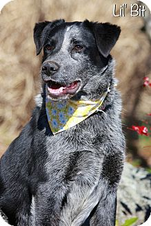 Australian Cattle Dog/Australian Shepherd Mix Dog for adoption in Albany, New York - Lil' Bit