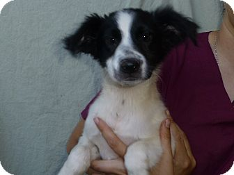 Border Collie/Golden Retriever Mix Puppy for adoption in Oviedo, Florida - Marla