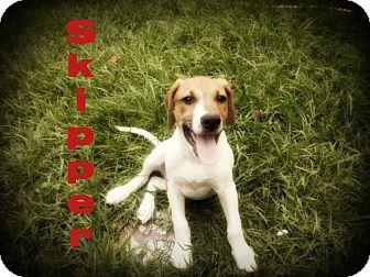 Labrador Retriever/German Shepherd Dog Mix Puppy for adoption in Groton, Massachusetts - Skipper