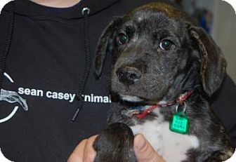 Pit Bull Terrier Mix Puppy for adoption in Brooklyn, New York - Himrod