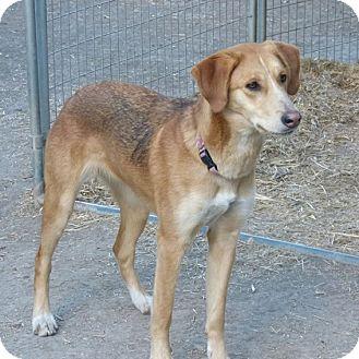 Shepherd (Unknown Type) Mix Dog for adoption in Merritt, British Columbia - Sheeba
