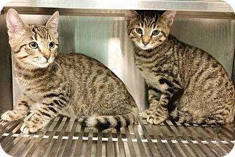Domestic Shorthair Kitten for adoption in Grass Valley, California - Milo