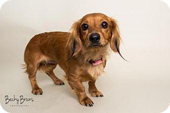Dachshund Dog for adoption in Sauk Rapids, Minnesota - Raine