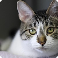 Adopt A Pet :: Stardust - Chicago, IL
