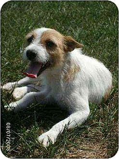 Parson Russell Terrier Mix Dog for adoption in Brookside, New Jersey - Carrie