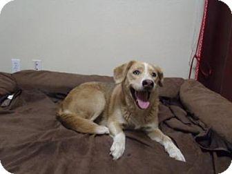 Australian Cattle Dog/Labrador Retriever Mix Dog for adoption in Gridley, California - Kona