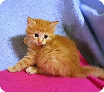 Domestic Mediumhair Kitten for adoption in Bentonville, Arkansas - Peela
