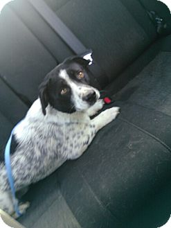 Blue Heeler/Beagle Mix Dog for adoption in Coats, North Carolina - River
