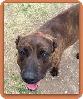 Mastiff Mix Dog for adoption in Divide, Colorado - Rex