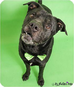 Labrador Retriever/American Pit Bull Terrier Mix Dog for adoption in Phoenix, Arizona - Vador