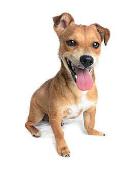 Chihuahua/Corgi Mix Dog for adoption in Wilmington, Delaware - Levi