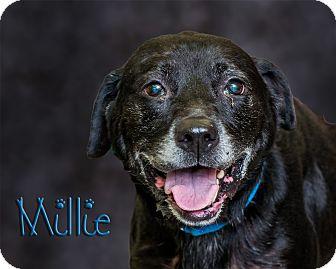 Labrador Retriever Mix Dog for adoption in Somerset, Pennsylvania - Millie