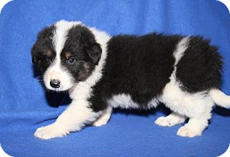 Great Pyrenees/Golden Retriever Mix Puppy for adoption in Orland Park, Illinois - BM4