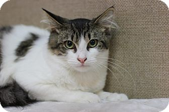 Domestic Mediumhair Cat for adoption in Midland, Michigan - Lukas