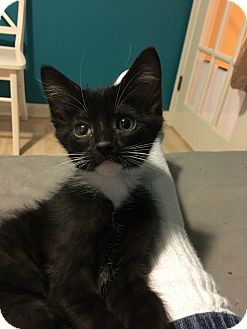 Domestic Shorthair Kitten for adoption in LaGrange, Kentucky - Angelica