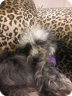 Schnauzer (Miniature)/Terrier (Unknown Type, Small) Mix Dog for adoption in Valencia, California - Checkers