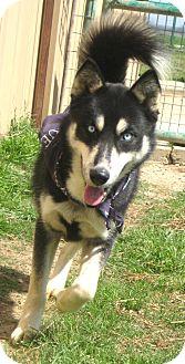 Husky Mix Dog for adoption in Pilot Point, Texas - BALTO