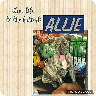 Catahoula Leopard Dog/Shepherd (Unknown Type) Mix Puppy for adoption in Mesa, Arizona - ALLIE