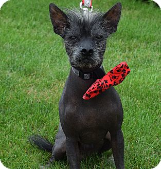 Chinese Crested Dog for adoption in Washington, Pennsylvania - Perry