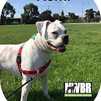 Adopt A Pet :: Remi - Woodinville, WA