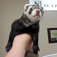 Ferret for adoption in Edmonton, Alberta - Odin