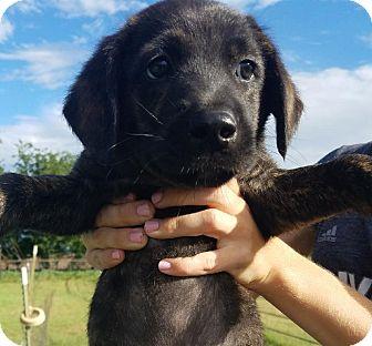 Labrador Retriever Mix Puppy for adoption in San Francisco, California - Gunther