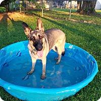 Adopt A Pet :: Koki - Springfield, MO