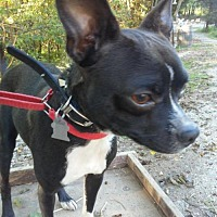 Boston Terrier Mix Dog for adoption in Various Cities in the entire Southeast, Tennessee - Devin Devine KY