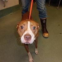 Adopt A Pet :: Pistol - Raleigh, NC