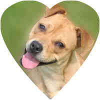 Boxer Mix Dog for adoption in Herndon, Virginia - Hannah