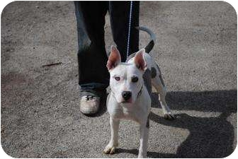 American Pit Bull Terrier Mix Puppy for adoption in Vernon Hills, Illinois - Lulu