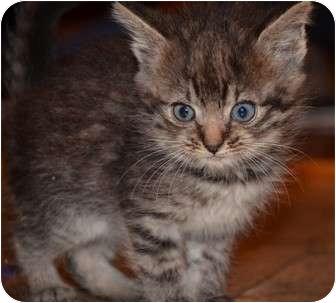 Domestic Shorthair Kitten for adoption in Troy, Ohio - Alice