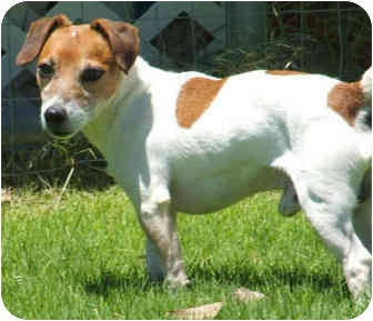 Jack Russell Terrier Dog for adoption in Phoenix, Arizona - DIGGER