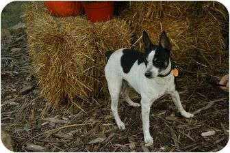 Jack Russell Terrier Dog for adoption in Muldrow, Oklahoma - Jacque