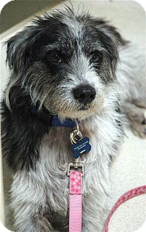 Terrier (Unknown Type, Medium) Mix Dog for adoption in hollywood, Florida - theo
