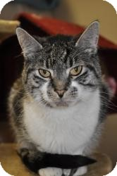 Domestic Shorthair Cat for adoption in Maple Ridge, British Columbia - Polo