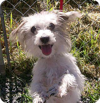 Westie, West Highland White Terrier/Yorkie, Yorkshire Terrier Mix Dog for adoption in Oak Ridge, New Jersey - Barkley