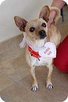 Chihuahua Dog for adoption in Mission Viejo, California - Tweetie
