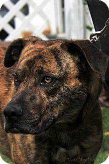 Terrier (Unknown Type, Medium)/Boxer Mix Dog for adoption in Ridgway, Colorado - Kenai