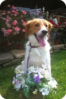 Collie Mix Dog for adoption in East Hartford, Connecticut - Chloe Belle  in CT