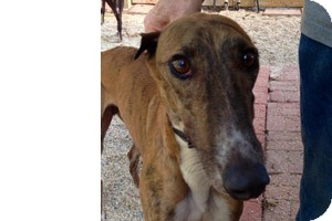 Greyhound Dog for adoption in Pearl River, Louisiana - George