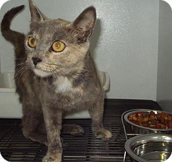 Domestic Mediumhair Cat for adoption in Mt. Vernon, Illinois - Arrow