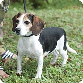 Beagle Dog for adoption in New Martinsville, West Virginia - Nancy
