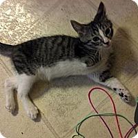 Adopt A Pet :: Spirit - Dallas, TX