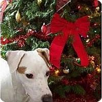 Adopt A Pet :: DOMINO III - Scottsdale, AZ