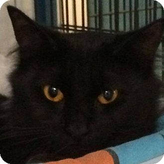 Domestic Mediumhair Cat for adoption in Deerfield Beach, Florida - Hennessy