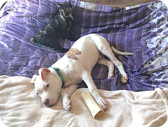 American Pit Bull Terrier Mix Puppy for adoption in Reisterstown, Maryland - Royal