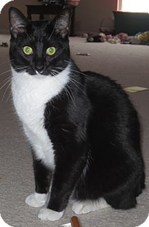 Domestic Shorthair Cat for adoption in St. Louis, Missouri - Guinness