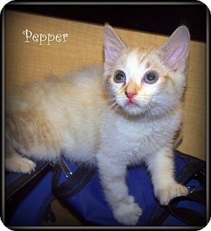 Calico Kitten for adoption in Yuba City, California - Pepper