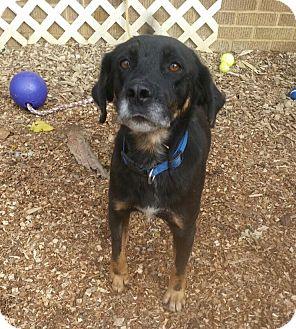 English Shepherd Mix Dog for adoption in South Park, Pennsylvania - Lancelot